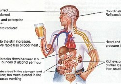 Alcohol and its effects in the body. Short Term Effects of Alcohol.
