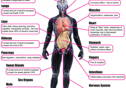 Harmful Effects of Alcohol. Diagram of different parts of human body.