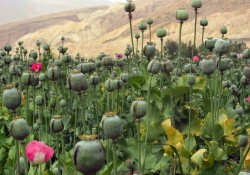The opium poppy. Afghanistan. The main opium producer in the world. The country produces 95% of the opium on Earth.