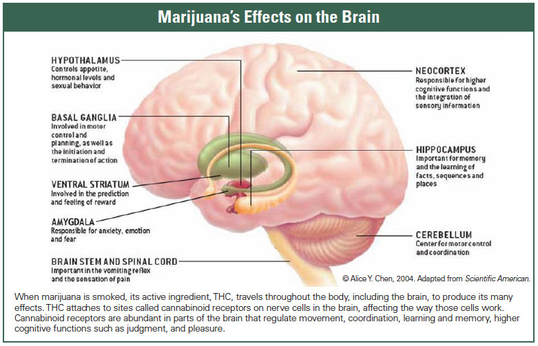 Marijuana's Effects on the Brain
