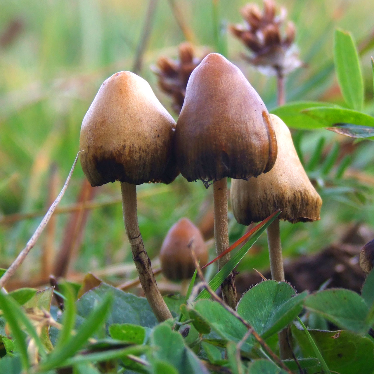 Psilocybin mushrooms. Psilocybin is a naturally occurring psychedelic compound.